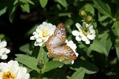 picture of zinnias  - A white peacock butterfly  - JPG