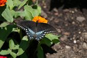 picture of zinnias  - A spicebush swallowtail butterfly  - JPG