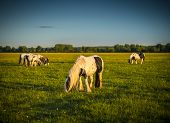 stock photo of pony  - Piebald ponies on Port Meadow in Oxfordshire - JPG