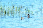 image of grebe  - One pair of great crested grebe  - JPG
