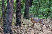 foto of roebuck  - Roebuck in the forest in the wild - JPG