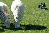 picture of sheep-dog  - border collie working sheep in an exibition - JPG