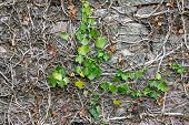 picture of ivy vine  - Stone wall overgrown with plants Common Ivy in spring - JPG