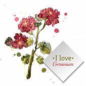 picture of geranium  - Watercolor blooming geranium on a white background - JPG