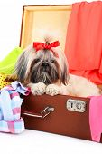image of dog breed shih-tzu  - Cute Shih Tzu in suitcase with clothes - JPG
