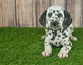 stock photo of wooden fence  - Very cute Dalmatian puppy laying in the grass with a wooden fence behind her with copy space - JPG