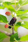 picture of mulberry  - fresh ripe mulberries in the green foliage - JPG