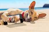 image of selfie  - chihuahua dog relaxing and resting lying on the sand at the beach on summer vacation holidayswhile taking a selfie for friends - JPG