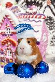 picture of guinea pig  - guinea pig in winter hat over Christmas background - JPG