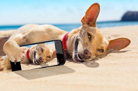 picture of selfie  - chihuahua dog relaxing and resting lying on the sand at the beach on summer vacation holidayswhile taking a selfie for friends - JPG