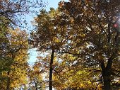 stock photo of cottonwood  - The sun lights up yellow oak and cottonwood leaves from behind - JPG