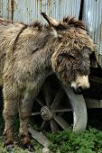 pic of jack-ass  - Young donkey at domestic farmland - JPG