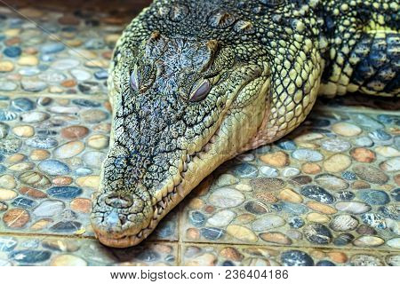 Close Up Sleeping Nile Crocodile