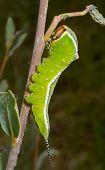 Caterpillar (cerura Erminea)