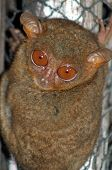 A Tarsier Monkey In The Philippines