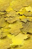 Thin Dry Maple Seeds And Yellowed Foliage During The Fall Foliage, Closeup In Nature poster