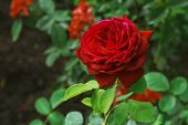 Floral Background With Red Rose Close-up. Rose Flower, Beautiful Rose Flower In Summer Garden. Summe poster