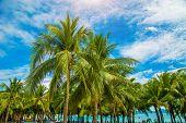 Many Beautiful High Palm Trees Grow Near, Aleya Palms, Tropical Island And Beautiful Trees Grow To T poster