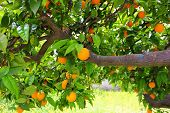 A Tree Branch With A Large Number Of Orange Oranges Hanging On It, An Orchard, Natural Vitamins, Sou poster