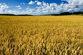 foto of gleaning  - Ripe wheat field harvest autumn agriculture rural - JPG