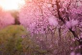 Beautiful Flowered Field Of Cherry With Sunflare poster