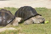 Aldabra Totrtoise