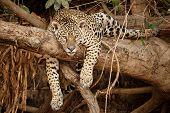 American Jaguar Female In The Nature Habitat, Panthera Onca, Wild Brasil, Brasilian Wildlife, Pantan poster