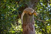 foto of coatimundi  - coati jumping from branch to branch in a zoo - JPG