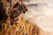 Royal Bengal Tiger Pose With Beautiful Background. Amazing Tiger In The Nature Habitat. Wildlife Sce poster