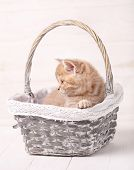 Cat, Pet And Animal Concept - A Sweet Scottish Cream Color Kitty Sits In A Wicker Basket. Portrait O poster