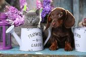 puppy dachshund and kitten scottish fold poster