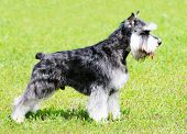 Zwergschnauzer Dog