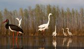 beautiful wild birds on a lake: black stork,  great white egret,  grey heron lake, black headed gull poster
