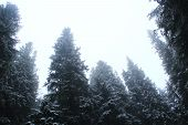 Cloudy Day In Forest With Tall Firs. Fur-trees In Forest In Fog. Fir Forest In Morning Fog. Fog In S poster