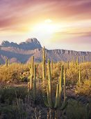 stock photo of cottonwood  - Saguaro Cactus Park in New Mexico - JPG