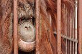 Orang-utan In The Zoo