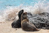 Galapagos Sea Lion cubs playful playing in sand and waves lying on beach on Galapagos Islands. Anima poster