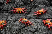 Sally Lightfoot Crabs on Galapagos Islands eating on rock. AKA Graspus Graspus and Red Rock Grab. Wi poster