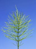 picture of horsetail  - Green Field horsetail plant in early autumn on the background of blue sky - JPG