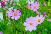 Spring Flower Landscape With Pink Cosmos Flowers - In Latin Cosmos Bipinnatus - At The Spring Meadow poster