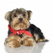 Yorkshire Terrier (1 año)