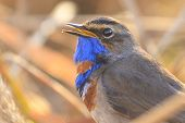 Bird With A Blue Throat Sings In The Morning Rays, Animals And Birds poster
