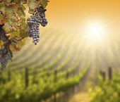 Beautiful Lush Grape Vine In The Morning Mist and Sun with Room for Your Own Text on Blurry Vineyard