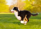Happy Aussie dog runs on meadow with green grass in summer or spring. Beautiful Australian shepherd  poster