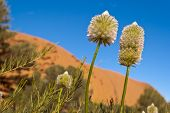 stock photo of uluru-kata tjuta national park  - Australian desert outback flowers with a blue sky - JPG