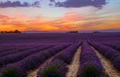 Purple Blooming Lavender Field Of Provence, France, At Sunset With Beautiful Scenic Sky And Tree On  poster