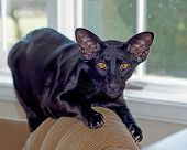 Cat Oriental Shor Thair Black Pet Kitty On Couch With Striking Amber Colored Eyes And Windows In The poster