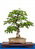 Asian Hornbeam (carpinus Turczaninovii) As Bonsai Tree