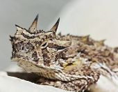 A Texas Horned Lizard On A Stucco Wall