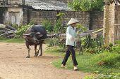 Vietnamesische Frau zu Fuß Wasserbüffel